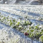 Ice heats up strawberry patch