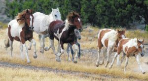 Mustangs up for adoption